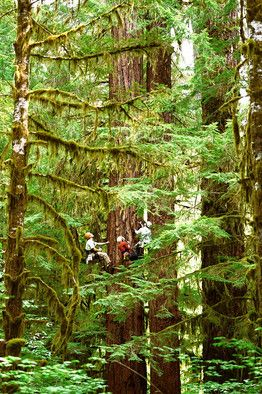 Pacific Tree Climbing Institute, 60 miles from Eugene, OR offers day climbs and night climbs where you spend the night in a 500 year old, 250' Douglas fir, dangling in a hammock. Wonderful!