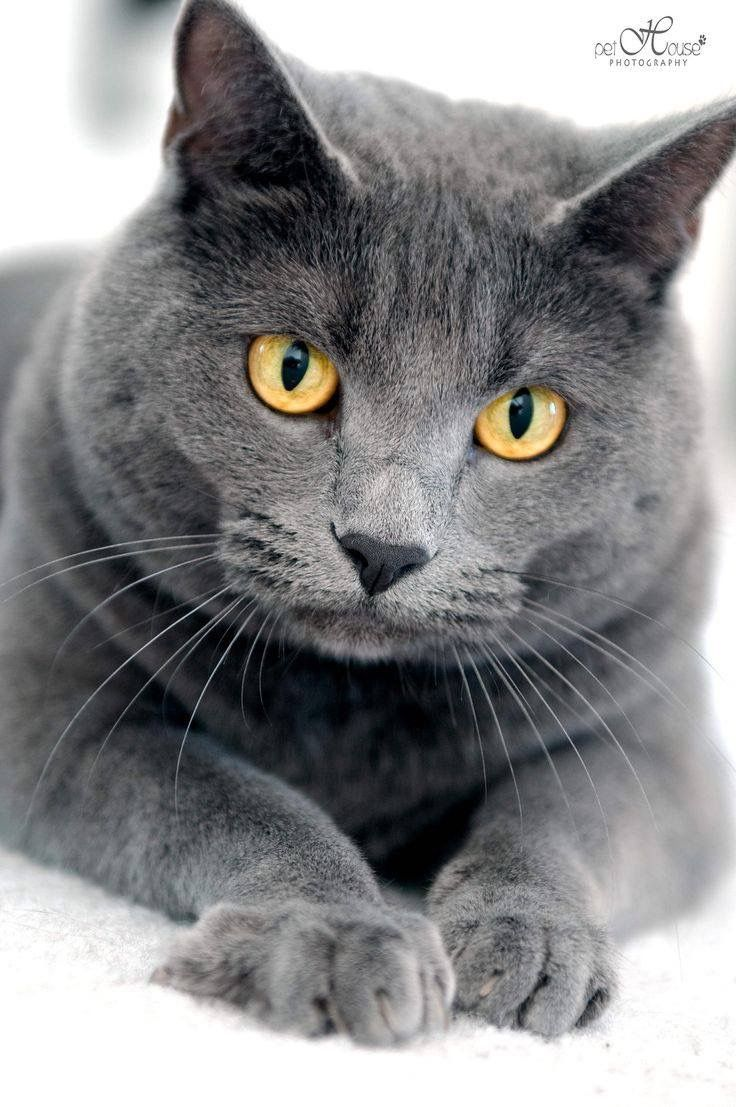 45 best Gatos Chartreux o Cartujos images on Pinterest
