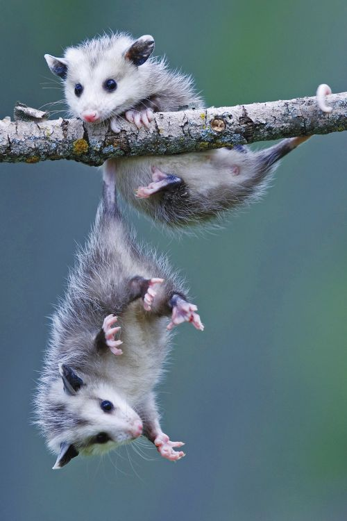 "Opossums: ""Hold on 'Olive' dear ~ I've got you by your tail ~ I won't let you fall!""              (Fact: Opossums make up the largest order of Marsupials in The Western Hemisphere, including 103 or more species in 19 genera.)"
