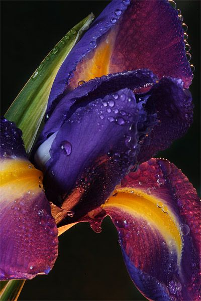 ✮ Dark Purple and Orange Iris