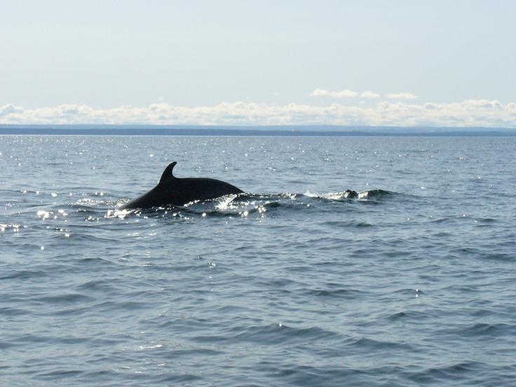 Whales in Tadoussac, Quebec