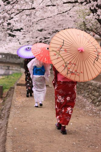 Kimono ladies walking down the street under the cherry blossom trees. #japan #kimono #nature #travel