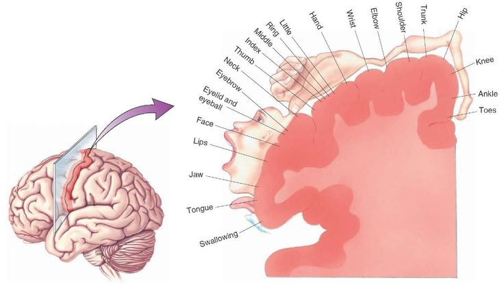 The relative homuncular representation of the primary motor cortex reveals the relative sizes of the regions of the primary motor cortex, which represent different parts of the body as determined by electrical stimulation experiments.