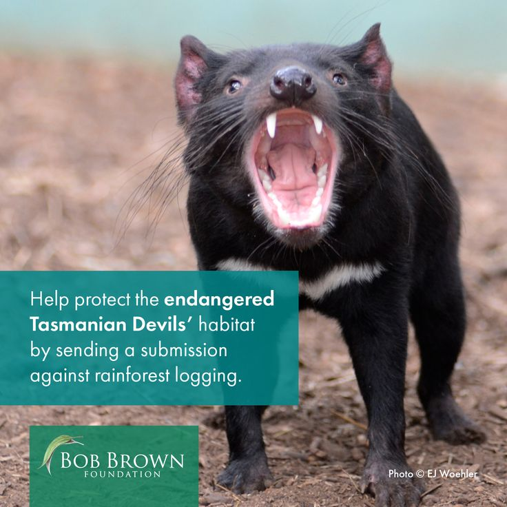 The Hodgman Liberal government will log rainforest habitat for threatened wildlife and flora, including the Wedge-tailed Eagle, Masked Owl, Quolls, Grey Goshawk and Tasmanian Devil.