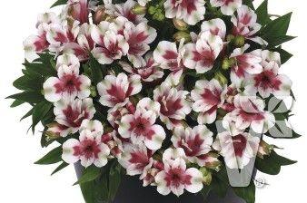 402025 Alstroemeria x hybrida Inticancha® Maya