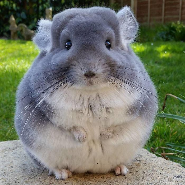 The first chinchilla I've seen that doesn't look cranky. He actually looks happy.