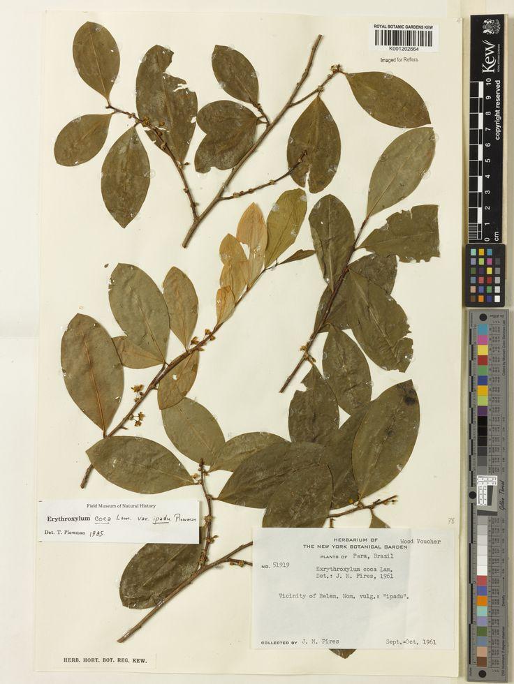 SpecimenK001202664  Current nameErythroxylum coca var. ipadu  Collector & no:Pires, J.M.       51919