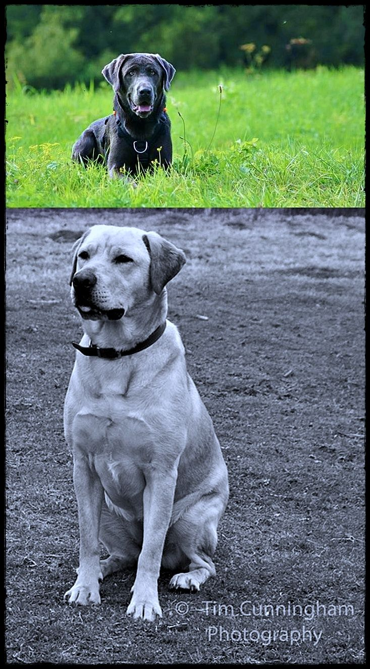 Labrador Energy Level Going To Buy Labradoradoption