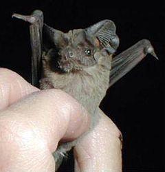 murciélago cola de ratón (Tadarida brasiliensis) es una especie de murciélago de mediano porte. Tiene cerca de 9 cm de largo, y pesa cerca de 15 g. Tiene orejas anchas y las mueve perfectamente para ayudarse a atrapar presas con la ecolocación. La piel varia de pardo oscuro a gris.  Es uno de los más avistados mamíferos en Norteamérica y no se encuentra en ningún listado federal. Sin, su proclividad a reunirse en grandes masas en relativamente pocos nidos los hace especialmente vulnerables…