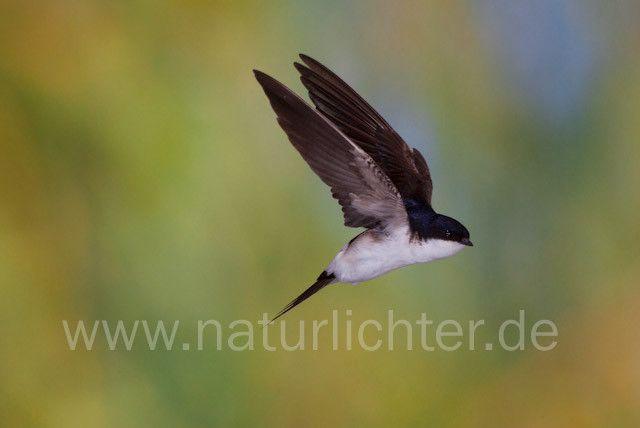 R7844 Mehlschwalbe im Flug, House Martin flying