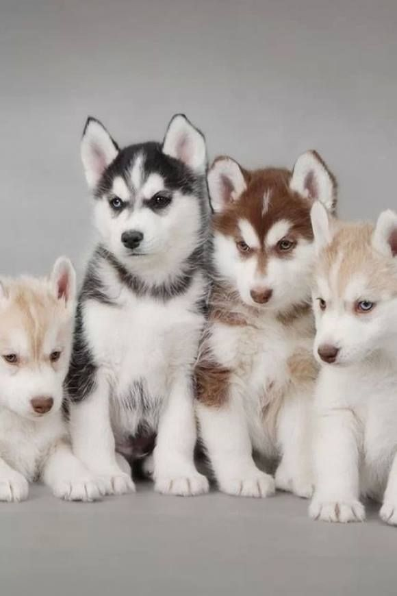 More Husky puppies... ill take all of them