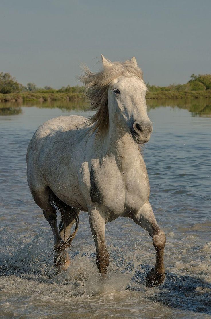 single camargue stallion. wildlife photography.