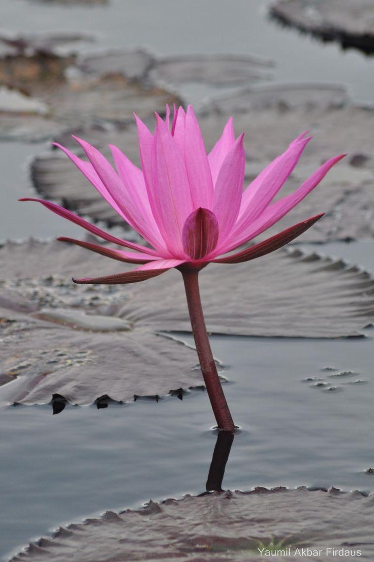 Bunga Teratai Situ Cangkuang