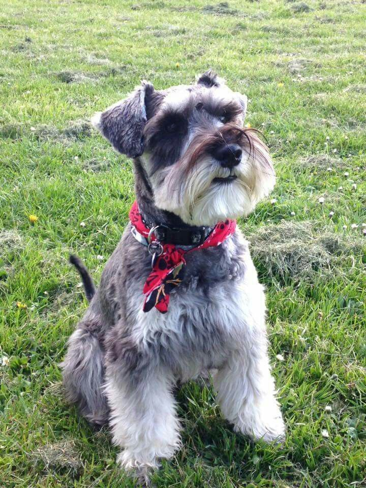schnauzer haircut styles 41 best grooming images on fluffy pets 2501