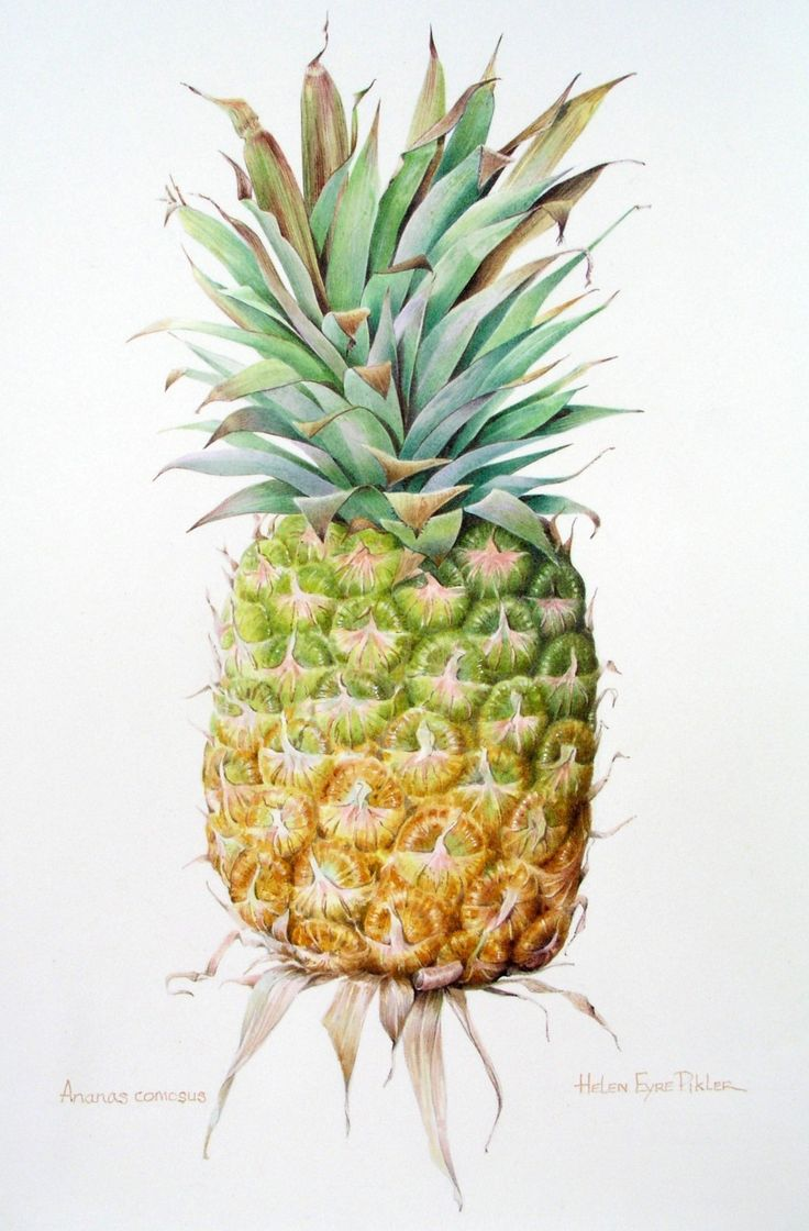 Ananas Comosus ~ watercolour by Helen Eyre Pikler