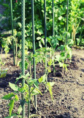 Tomaten selbst anbauen - unser Garten-Tipp zum Frühling