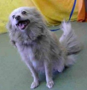 Sandy Wiggins is an adoptable Pomeranian searching for a forever family near Shoreline, WA. Use Petfinder to find adoptable pets in your area.