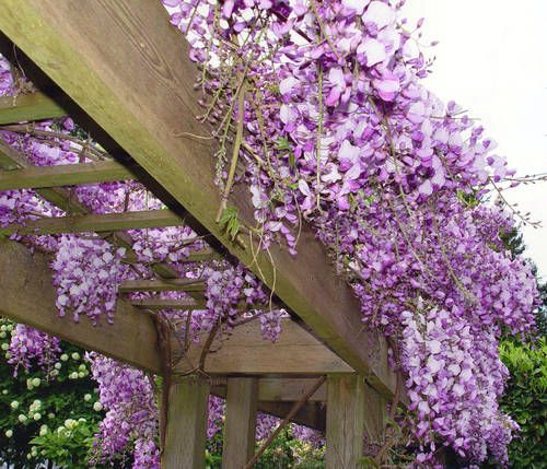 wisteria trellis - it doesn't have to be a big trellis