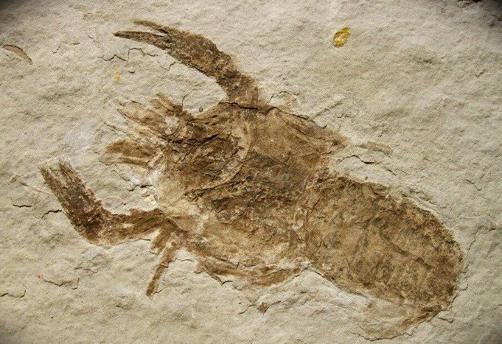 Jurassic Astacus Crayfish Fossil from Liaoning, China