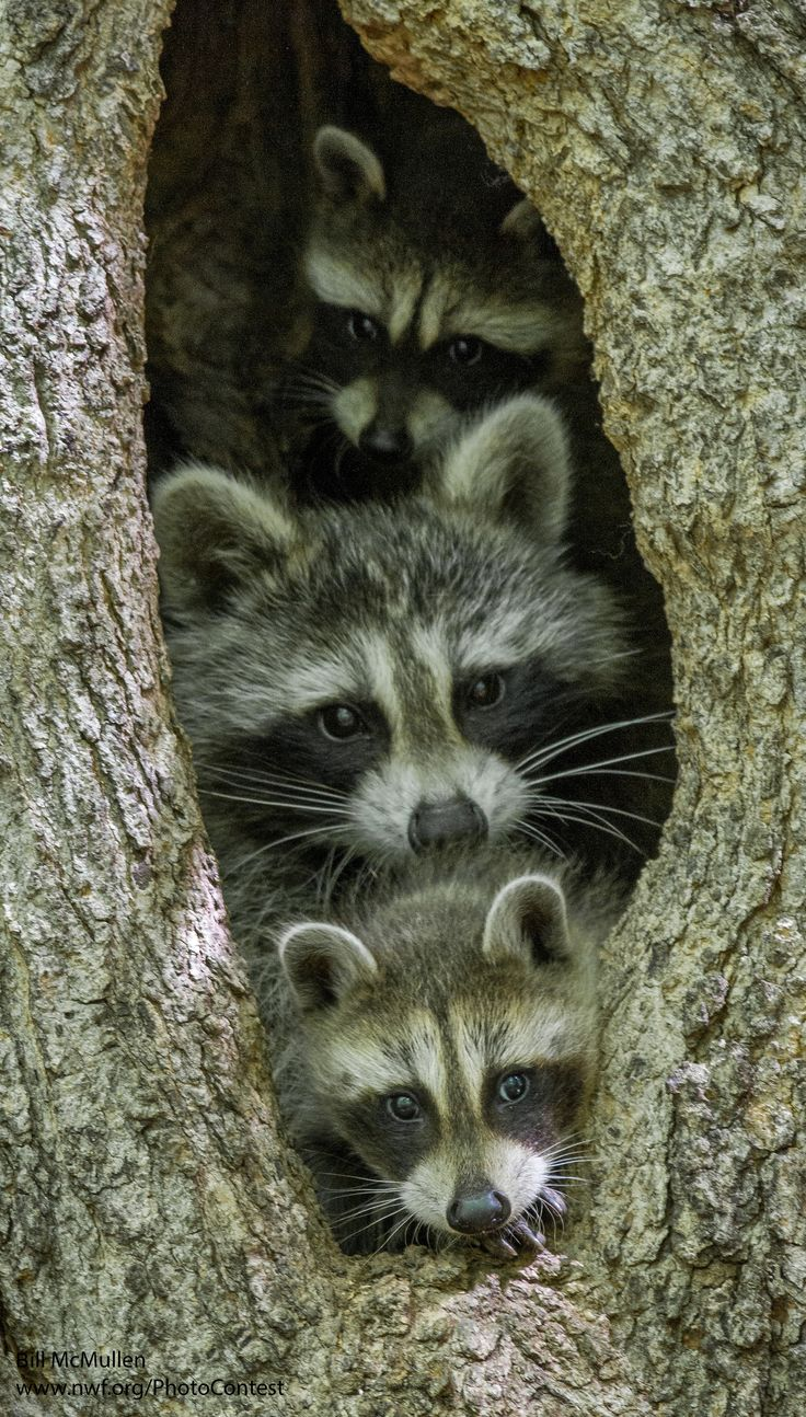 How To Keep Wild Animals Out Of Your Yard Part - 46: Itu0027s International Raccoon Appreciation Day! How To Keep These Wonderful  Critters Wild.