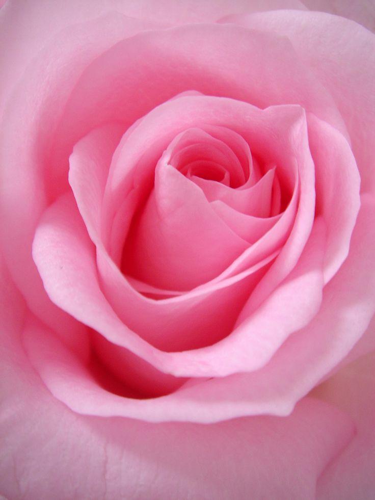 20 free flower pictures on unsplash pink rose flower