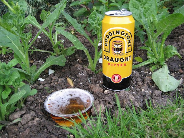 And beer helps kill slugs. At least they'll die happy.  http://www.thisgardenisillegal.com/2006/07/how-to-kill-slimy-bastards-aka-slugs.html
