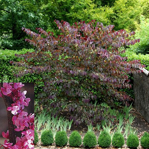 Cercis canadensis 'Forest Pansy': This magical little tree features large heart-shaped leaves that turn coppers and orange in autumn.