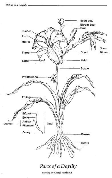 Parts Of A Daylily