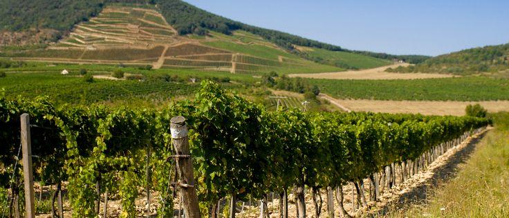 A KAKASOK DŰLŐ   A HOLDVÖLGY a dűlő különböző helyein 2 parcellát művel, 1,1 hektáron.  A Kakasok zeolitos riolittufája és kovaüledékei a lejtőn felfelé haladva egyre nagyobb sűrűségben keverednek a talajba.  Szüreti időponttól függően valamennyi bortípus elkészíthető erről a kiváló termőhelyről.  A Kakasok dűlő borai határozottak és intenzívek. Tökéletes alapjai a nagy formátumú száraz Tokaji házasításoknak.  Holdvölgy winery Tokaj grapes wine