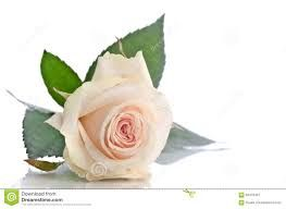 Image result for single rose lying down