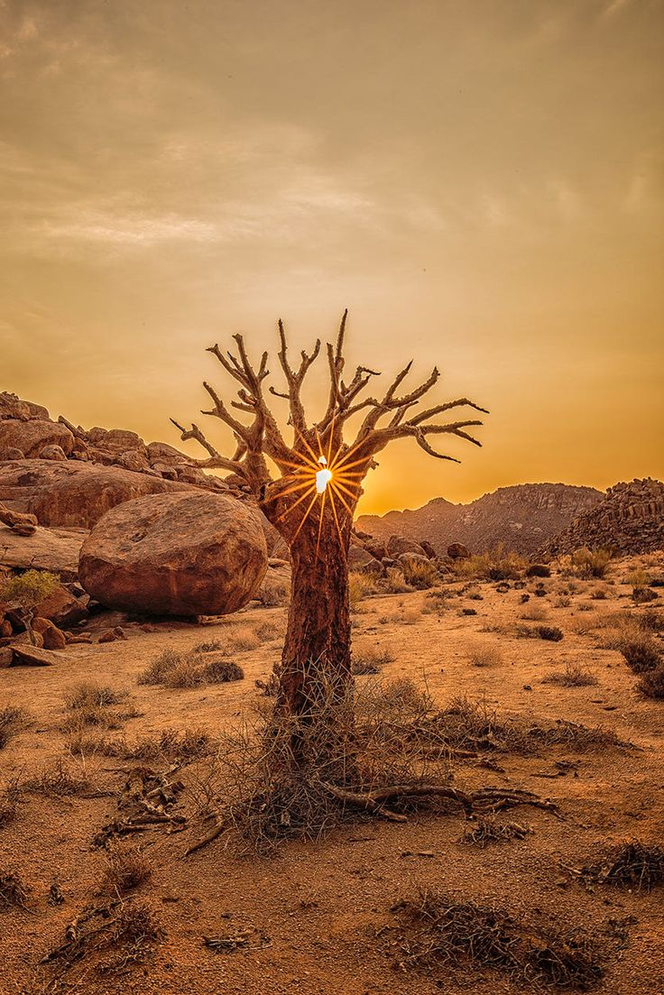 Kokerboom or quiver tree is an aloe that grows in the north western Cape and southern Namibia.