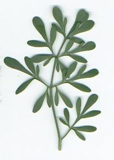 Ruta graveolens: Rue leaf . The Spanish name for Rue is Ruda. Known as the Herb of Grace.