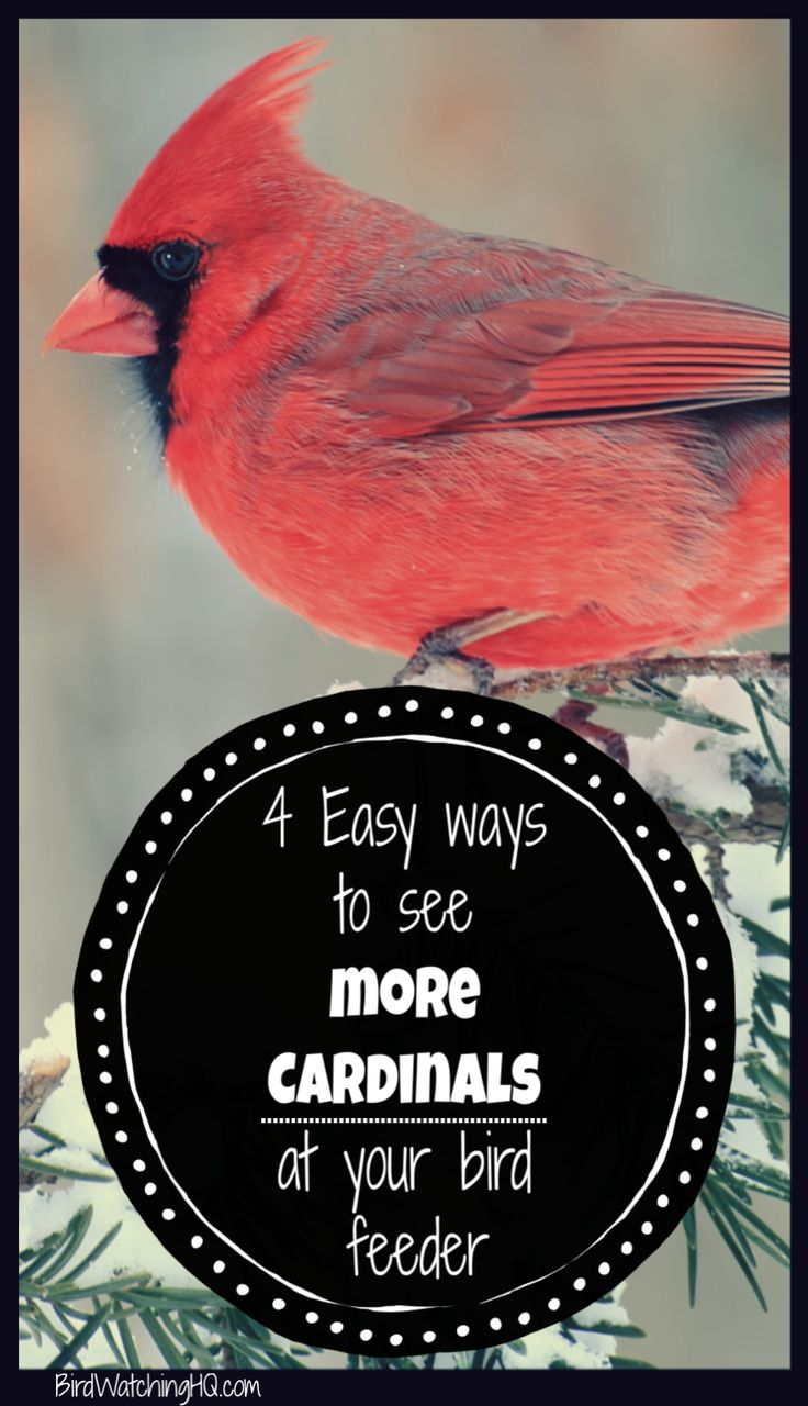 4 simple strategies to attract cardinals to your feeders