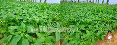 "African spinach, ""Green""(English), Efo Tete (Yoruba), tete eleegun(yoruba), Botanical Name: Amaranthus Hybridus"