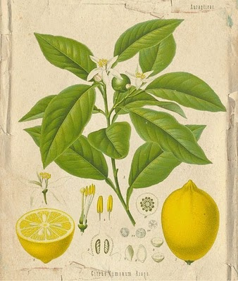 love the vintage drawings. maybe a little less clinical for me,but i like none the less. maybe could explore. also lemons and herbs! also well suited to me.
