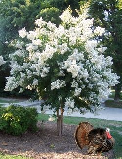 flowering white crepe myrtle tree, love it minus the turkey