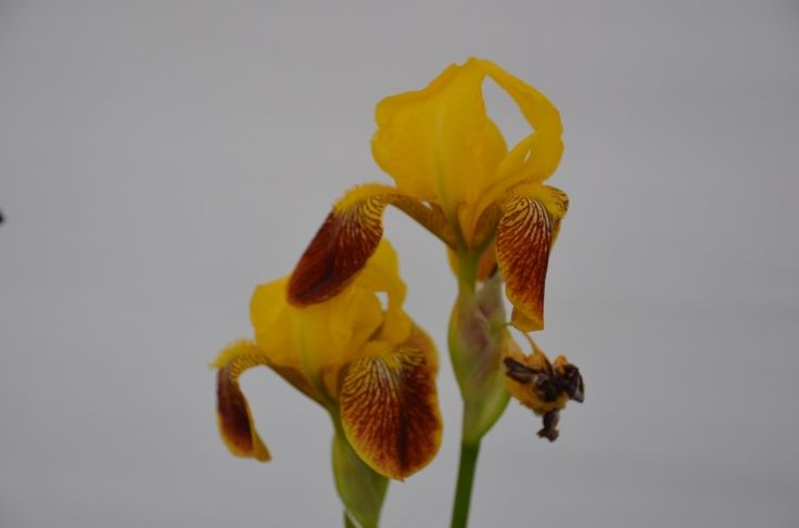 야생화 원숭이꽃