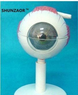 17.55$  Buy now - http://ali2p5.shopchina.info/go.php?t=32624178165 - SHUNZAOR 11*11*12cm 250g with 6 parts 3 times Eye Anatomy Model   eye structure model Teaching Experimental Model   17.55$ #aliexpressideas