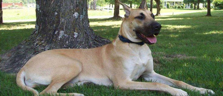 De Duitse Dog, beter bekend als de vriendelijke reus, is heel lief aanhankelijk en speels. Vanwege zijn omvang, moet hij altijd worden begeleid rond kinderen maar is over het algemeen goed gemanierd. Dit ras wordt vaak gebruikt als een waakhond en doet het erg goed. (De Duitse Dog wordt ook wel de Deense Dog genoemd