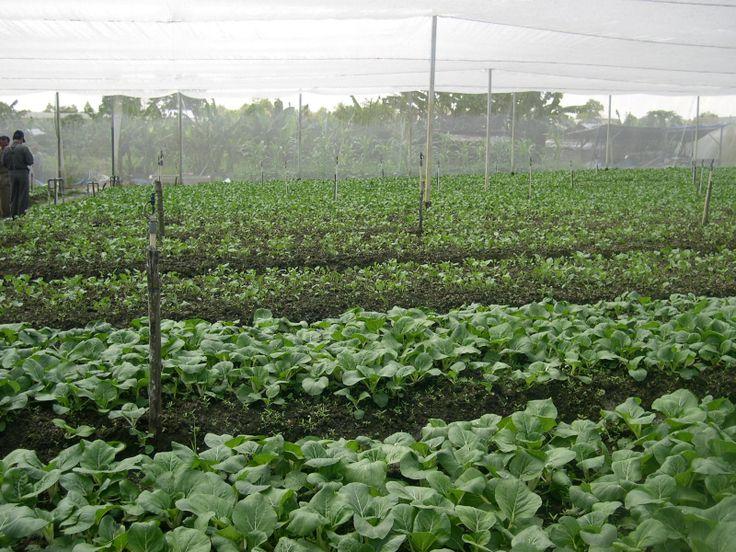 Penggunaan jaring bisa sangat membantu dalam menanggulangi cuaca yang tidak menentu (terlalu panas atau hujan terlalu lebat) dan hama tanaman.