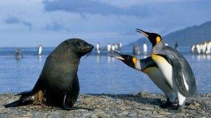 pinguini elefante marino