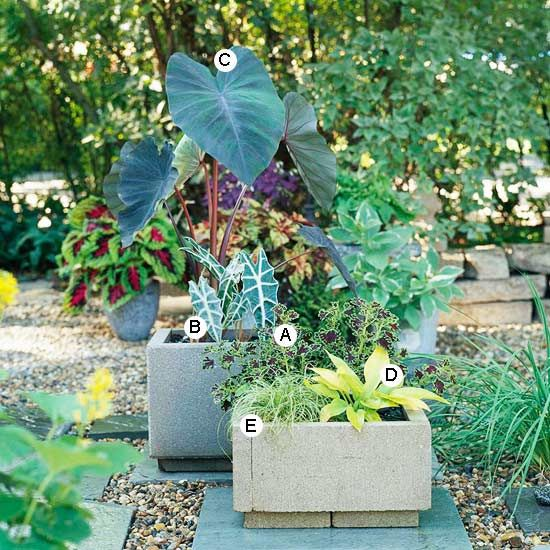 Shade container gardenGardens Ideas, Container Gardens, Colors Foliage, Gardens Recipe, Elephant Ears, Container Plants, Shades Plants, Pots Of Gold, Growing Colors