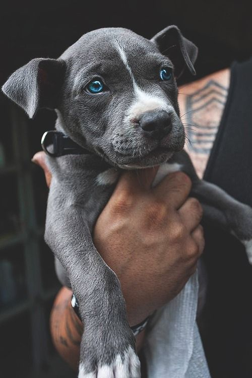 Blue Eyed Dog cute animals adorable dog pets lol aww
