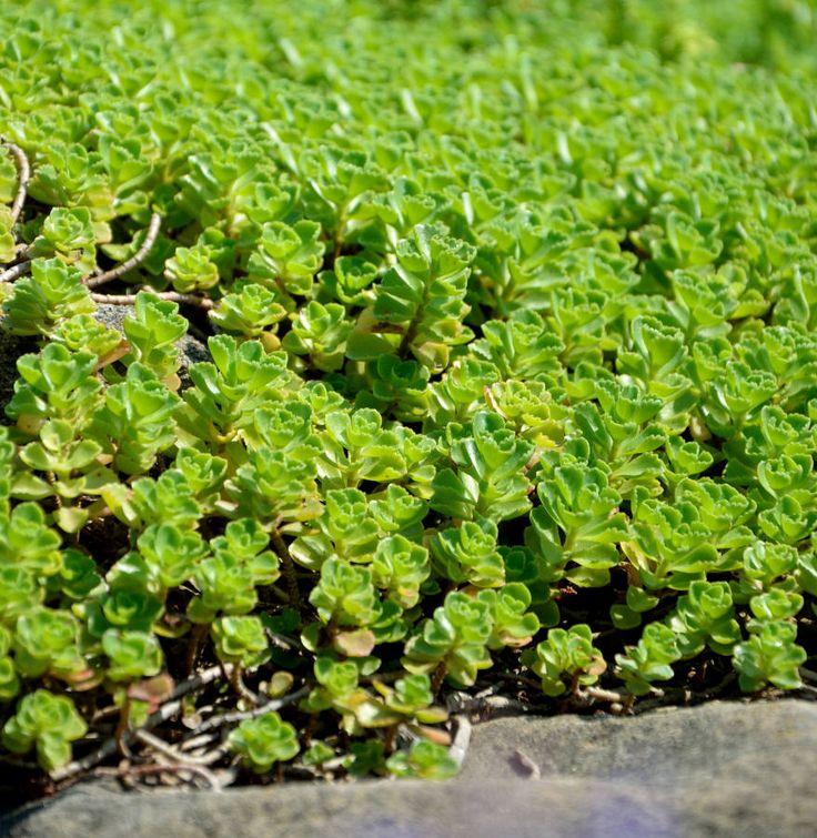 Rozchodnik (Sedum) http://dailytips.pl/rozchodnik/  fot. Patrycja Bydlińska  #garden #kwiaty #rozchodnik #sukulent #suculent