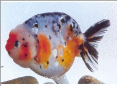 15 best images about ranchu goldfish on pinterest for Koi fry pool