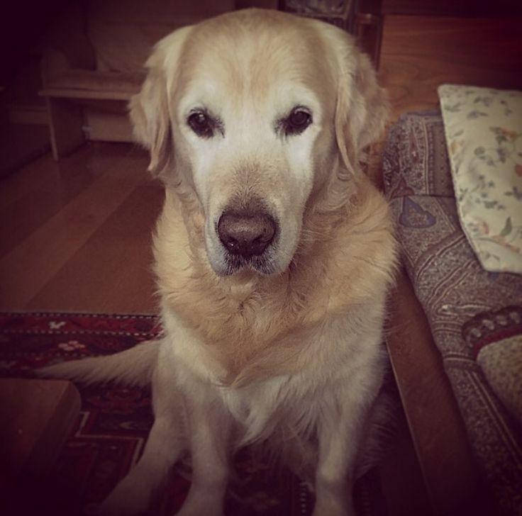 Sweet eyes  #Aaron #mydog #goldenretriver #sguardicheparlano