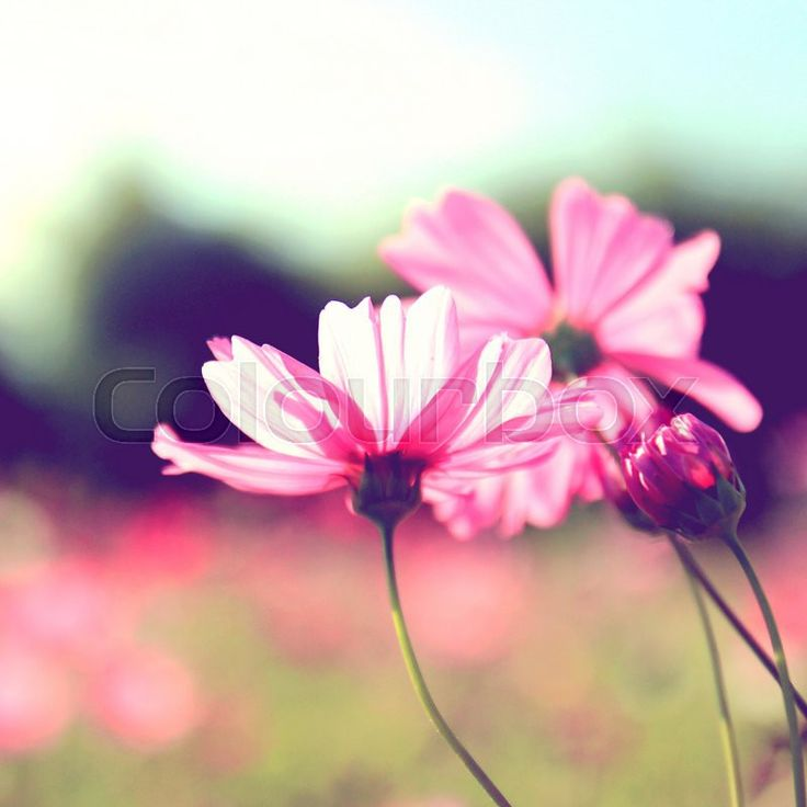 Stock image of 'Pink cosmos flowers with retro filter effect'