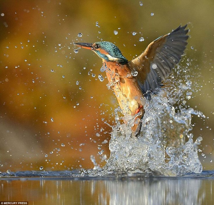 Best Kingfisher Images On Pinterest Nature Animal And Colours - Man finally captures the perfect kingfisher photo after 6 years and 720000 attempts