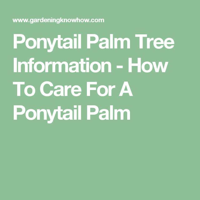 Ponytail Palm Tree Information - How To Care For A Ponytail Palm