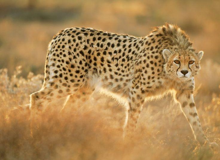 Гепарды — животные особые. Красивые и экзотические, быстрые, как спортивные автомобили, и при этом легко поддающиеся приручению, они не просто обитатели дикой природы, но и медиазвезды, любимцы кинематографистов и рекламщиков всего мира. Так почему же гепардов осталось всего 10 тысяч?